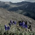 Monkshood - Aconitum Napellus