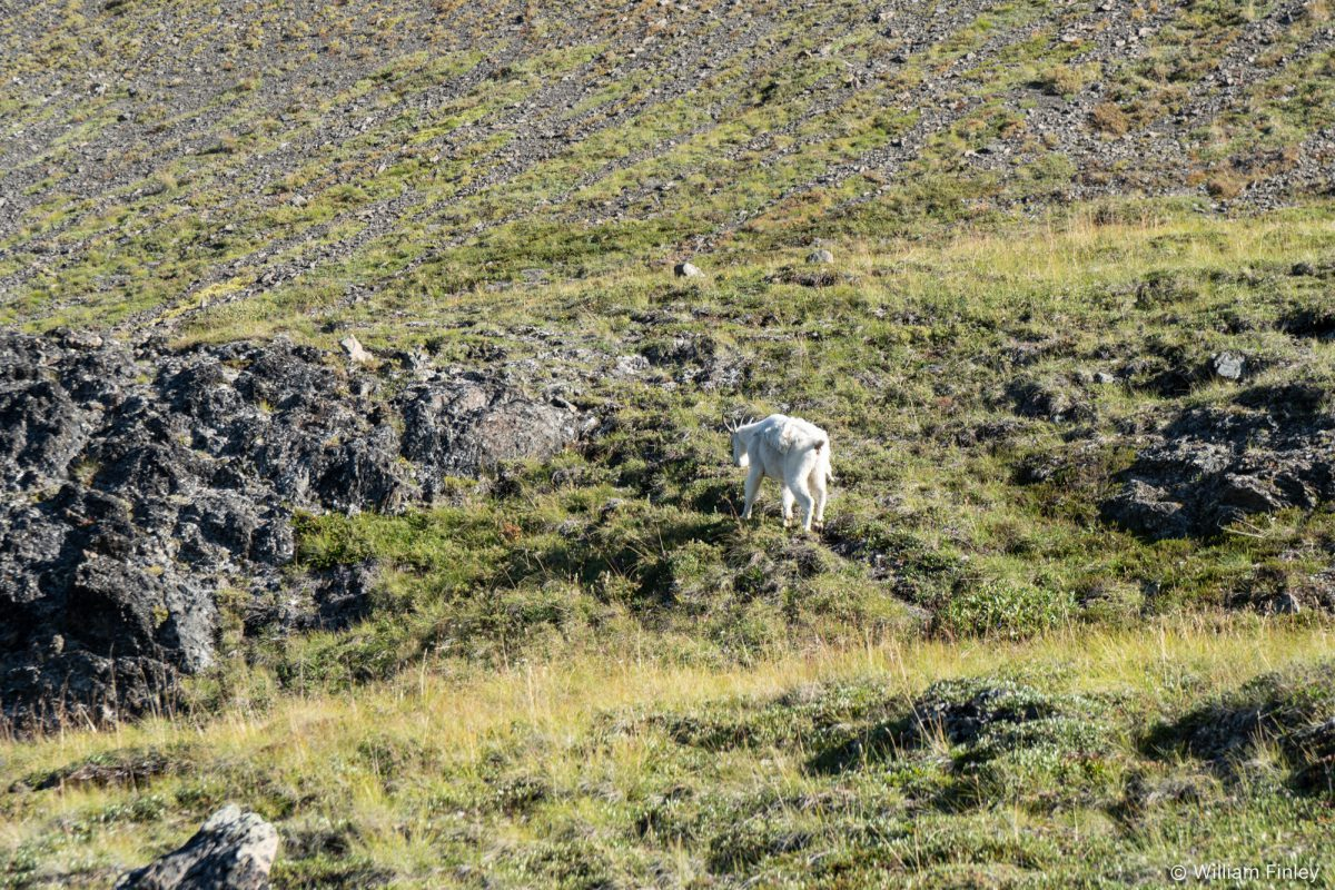 A goat showing me the way across the path above the East Fork.